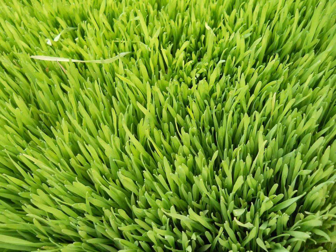 Foto / jomu - Gerstengras im Ursprung - woraus das Produkt hergetellt wird.